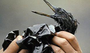 Ptak pokryty ropą z tankowca Exxon Valdez. Alaska 1989 r.