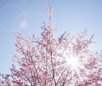 Pierwszy dzień wiosny. Kiedy wypada? Wiosna astronomiczna i kalendarzowa - to samo?