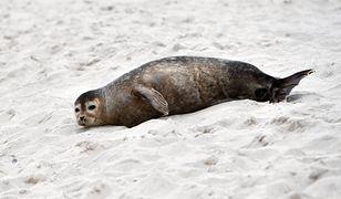 Znaleziono ciała trzech martwych fok. Jest wynik oględzin Stacji Morskiej