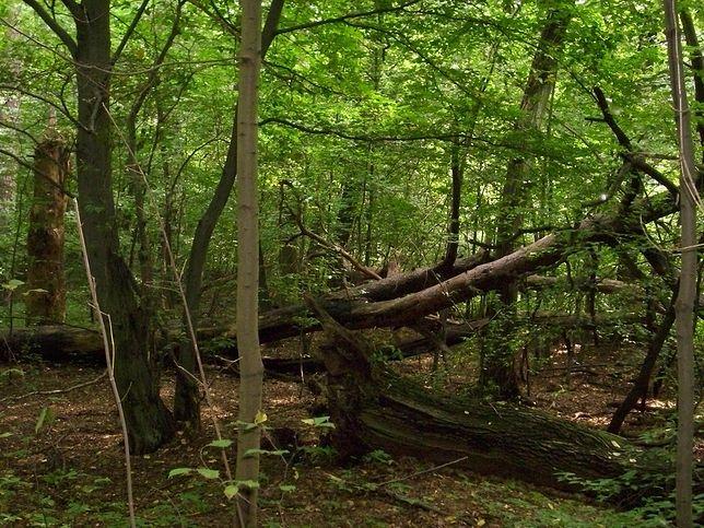 Osiedle miałoby powstać w lesie w otulinie rezerwatu.