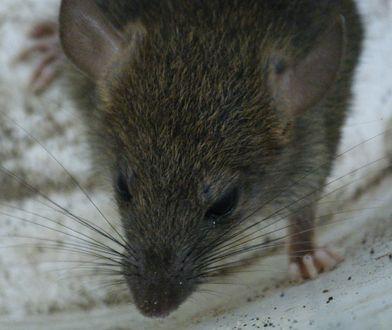 Szczury w centrum miasta