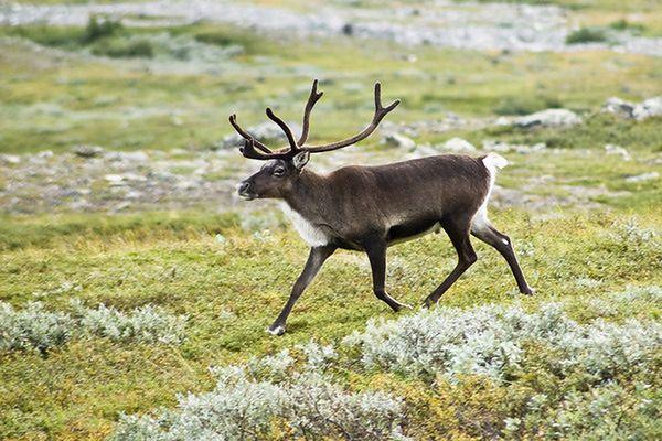 W Norwegii znaleziono 300 martwych reniferów