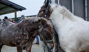 Jarmark koni w Skaryszewie. Służby w pogotowiu