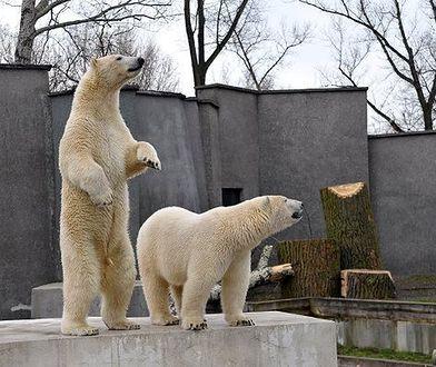 """Niedźwiadki z warszawskiego ZOO świętują. """"Aleut i Gregor to niezwykli bliźniacy"""""""