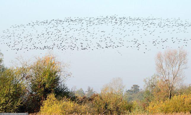 Do Polski mogą dotrzeć zakażone ptaki