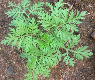 Pospolita roślina może pomóc w walce z COVID-19