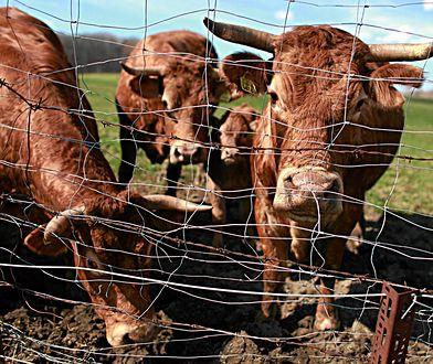 Łosice na Mazowszu. Trwa obława na agresywne byki, które uciekły rolnikowi