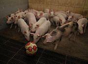Unia każe rolnikom zabawiać świnie!