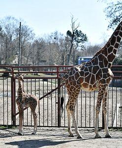 Mała żyrafa urodzona we wrocławskim zoo