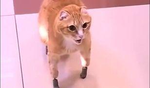Rudy jako pierwszy kot na świecie otrzymał bioniczną protezę