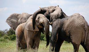 Słonie zadeptały śpiących uchodźców