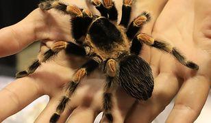 Brachypelma hamori - meksykański gatunek tarantuli.