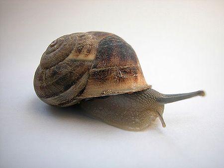 Naukowcy: ślimaki są coraz powolniejsze