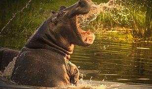 Chiński turysta zabity przez hipopotama. Chciał zrobić mu zdjęcie