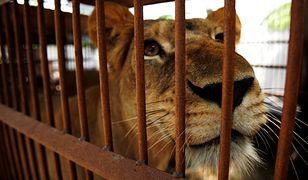 Życie cyrkowych lwów