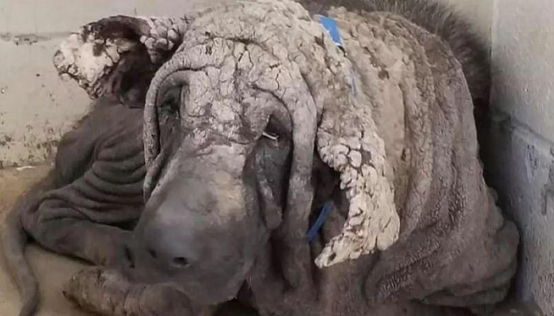 Skóra tego psa była jak kamień. Nowi właściciele dokonali cudu