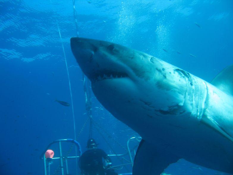 Megalodon większy niż sądzono. Prehistoryczny rekin największą ze znanych ryb