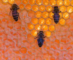 Szokujące odkrycie w gminie Mszczonów. Zginęły blisko dwa miliony pszczół