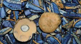 Piaskowiec modrzak – gdzie rośnie i jak wygląda? Czy to grzyb jadalny?