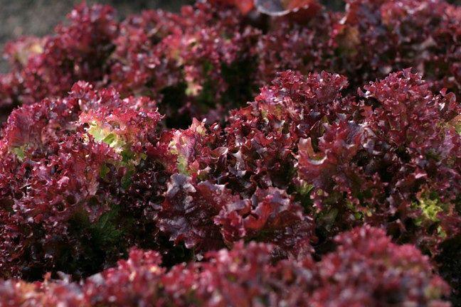 Czerwona sałata