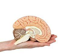 Pień mózgu – lokalizacja, funkcje, uszkodzenia, nowotwory. Śmierć pnia mózgu
