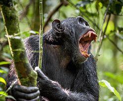 Szympansy umierają na tajemniczą chorobę. Naukowcy są przerażeni