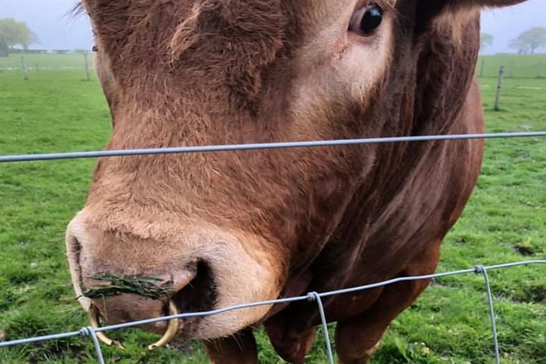 Właścicielka byka była zszokowana, że zwierzęciu udało się przeżyć