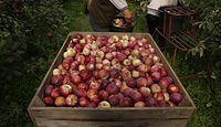 Brakuje ludzi do zbioru jabłek. Rolnicy wypożyczają pracowników