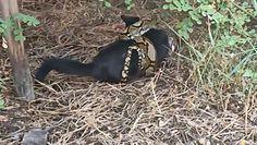 Potężny pyton zaatakował kota. Świadek uratował go w ostatniej chwili