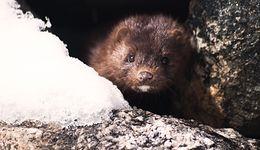 Ustawa o zwierzętach. Sejm przegłosował nowe prawo zakazujące hodowli zwierząt na futra