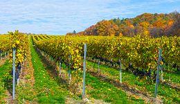 Polskie winnice przyciągają turystów. 70 proc. prowadzi dodatkową działalność poza uprawą