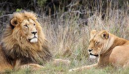 """W chińskim zoo odkryto """"lwa"""", który szczekał"""