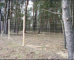 Do Niemiec mógł dotrzeć ASF. Możliwe, że chorobę przeniosły dziki z Polski. Płot na granicy nie pomógł?