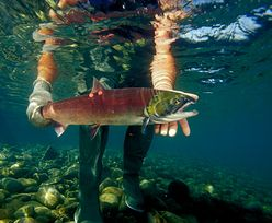 Hodowle łososia zaatakował wirus. Przenosi się na dzikie ryby