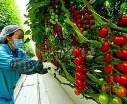 Koncentrat z wyzysku. Pomidorowy biznes na ludzkiej krzywdzie