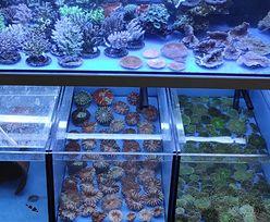 Rekordowy przemyt na Okęciu. 900 koralowców przejętych przez KAS