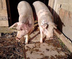 ASF. Polska hodowla trzody chlewnej krytycznie zagrożona