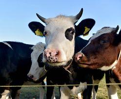 Dopłaty dla rolników rekordowo wysokie. Za krowę ponad 20 zł więcej