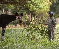 Kongo przejmuje nielegalnie wydobyte złoto warte 1,9 miliona dolarów