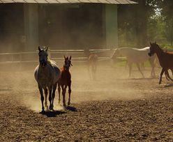 Nagrody dla hodowców koni. Minister obiecywał w sierpniu, do dziś nikt nic nie dostał