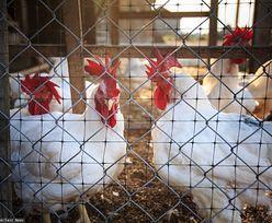 Koronawirus i ptasia grypa. Hodowcy mówią o dramacie w branży drobiarskiej