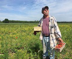 Truskawkowy Dziadek kończy z truskawkami. Plantacji w Polsce z roku na rok ubywa