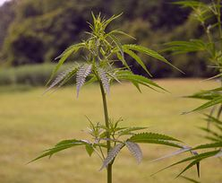 Lewica chce zalegalizować marihuanę. Trwają prace, ale czy uda się przekonać rządzących?