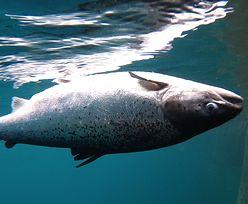 Łososie, które importujemy ze Szkocji, żyją w koszmarnych warunkach