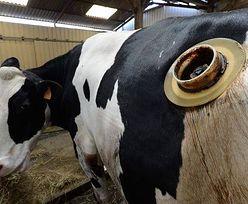 Krowy z 15-centymetrowymi dziurami w brzuchu. Po co ten okrutny zabieg?