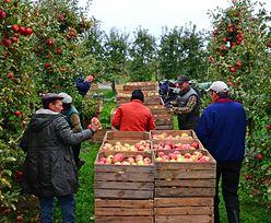 Na plantacjach brakuje pracowników. Stawki rosną, a chętnych brak