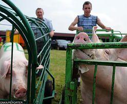 ASF zagraża całej branży wieprzowiny w Polsce. Branża alarmuje