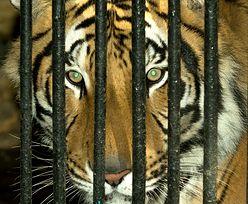 Sprawa tygrysów z Włoch. Powinien powstać azyl dla zwierząt zatrzymywanych na granicy