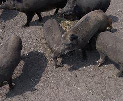 ASF. W okolicach Tarnowa dwadzieścia martwych dzików