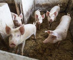 Litwa przyjrzy się polskim świniom. To reakcja na nasz zakaz